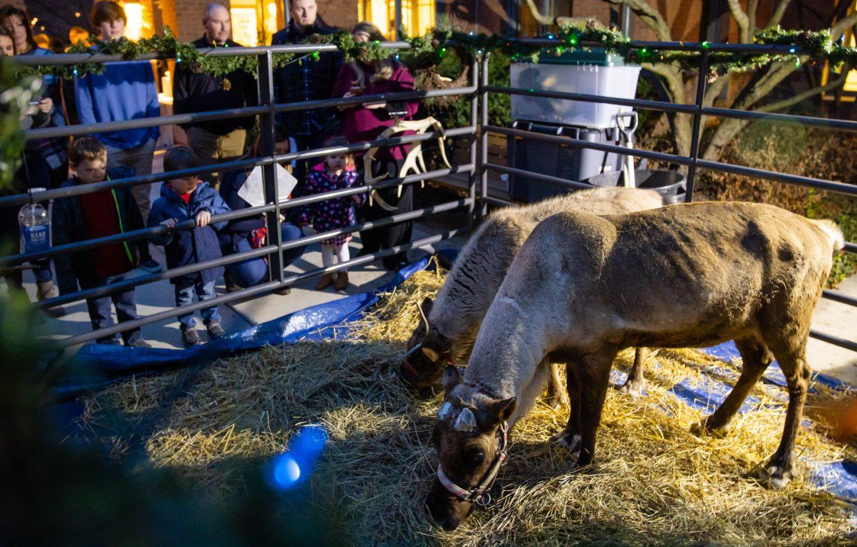 Guests watching reindeer eat straw