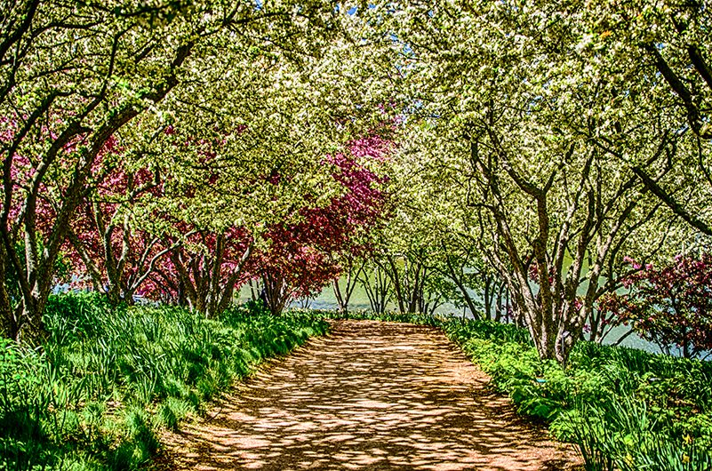 Path with white tree blossoms overhead