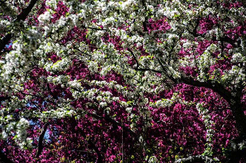 Spring tree blossom in white and pink