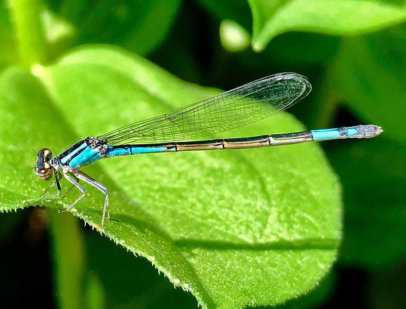 Teal dragonfly on green leaf