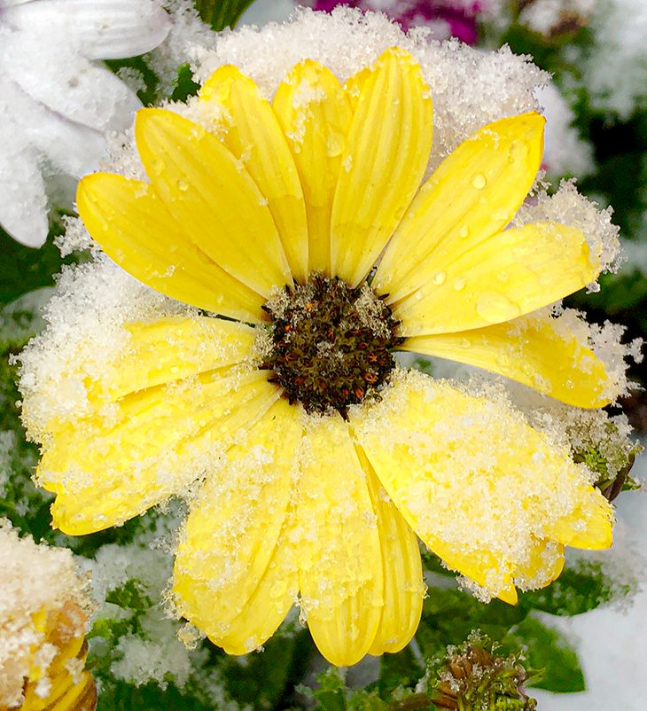yellow daisy in snow