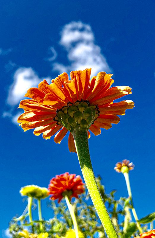 Orange gerbera daisy agains blue sky