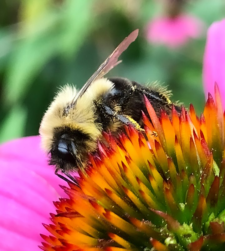 Bee and cone flower