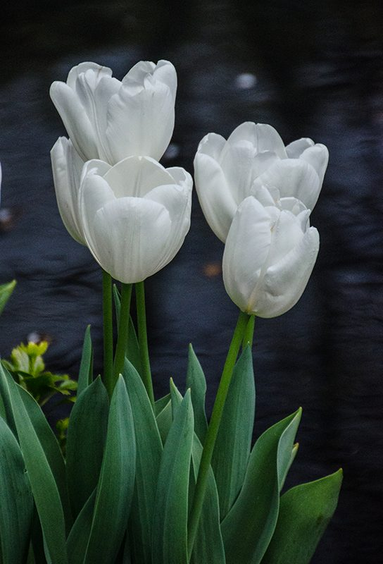 Cluster of white tulips