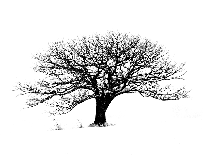 Winter tree isolated in a white background