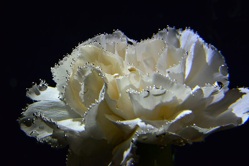 White carnation with water droplets