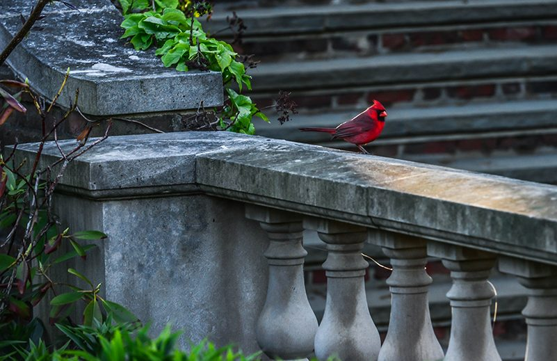 Cardinal on a stone ledge